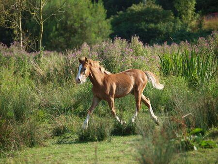 A pretty young Welsh Cob foal trots through  a paddock.