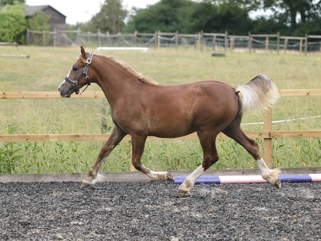 A young Welsh Section D colt plays at liberty in an arena. Stock Photo