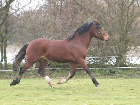 A young bay Welsh cob in a winter paddock.