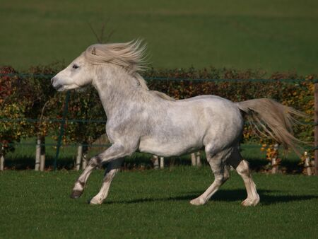 A young grey Welsh Section A stallion plays and moves around in a paddock in the Autumn.