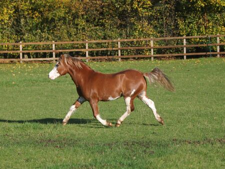 A chestnut Welsh stallion lets off some steam loose in a paddock.