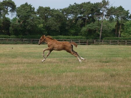 A young foal gallops through a paddock at a stud farm