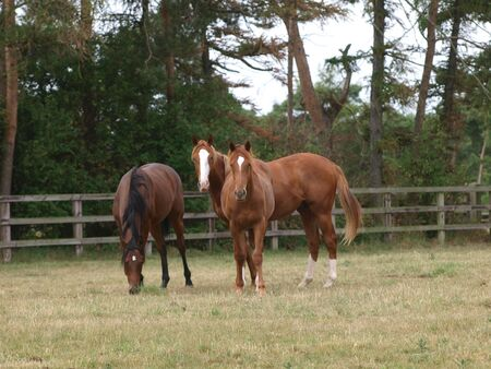 Three young thoroughbreds play in a paddock at a stud farm.