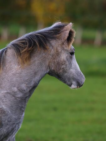 A head shot of a young Welsh pony looking away from the camera.