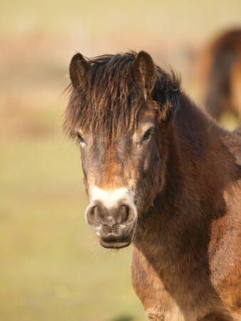 A headshot of a rare breed Exmoor pony