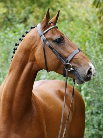 A head shot of a stunning bay stallion in a snaffle bridle showing of the muscles in his neck.
