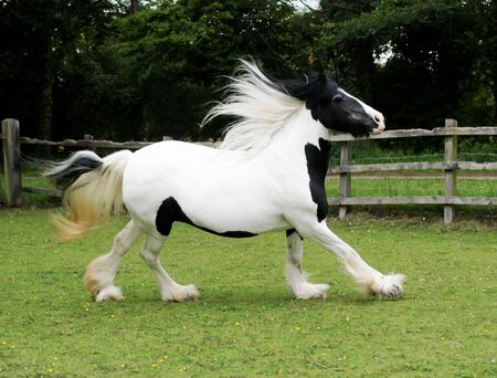 A skewbald pony with a long mane and tail canters loose through a paddock. 版權商用圖片