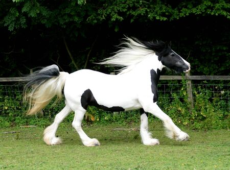 A skewbald pony with a long mane and tail canters loose through a paddock.