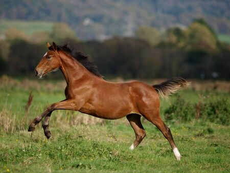 A pretty young foal gallops through a paddock in the sunshine.