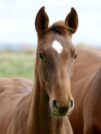 A head shot of a pretty bay foal in a paddock. Stockfoto - 143796980