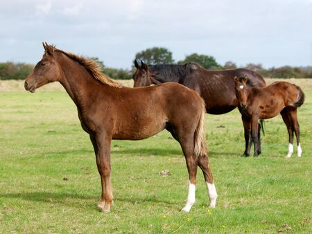 A herd of mares and foals in a paddock. Stockfoto