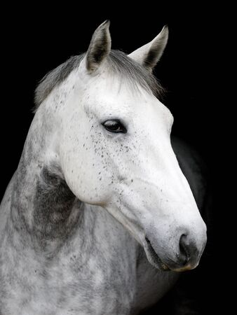 A head shot of a grey hunter against a black background. 写真素材