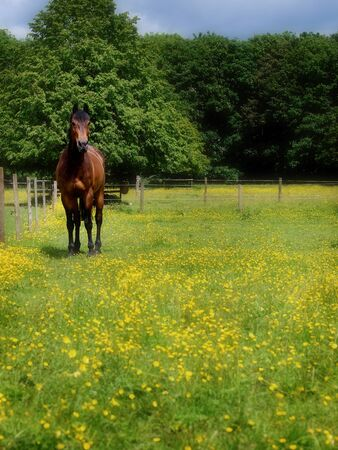 A bay horse turned out in a summer paddock covered in buttercups Stock Photo