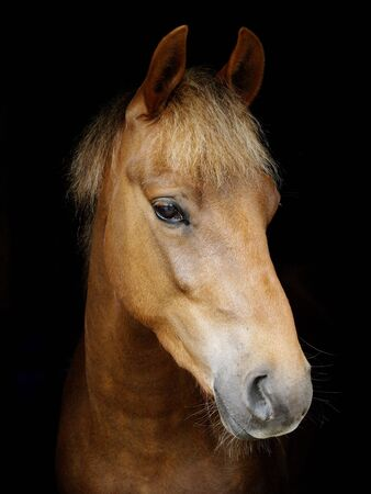 A heads shot of a rare breed New Forest pony against a black background.