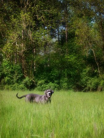 A large grey Mastiff type dog plays in a summer meadow of long grass.