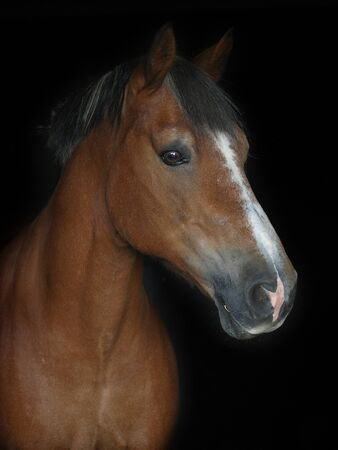 A head shot of a bay horse against a black background.