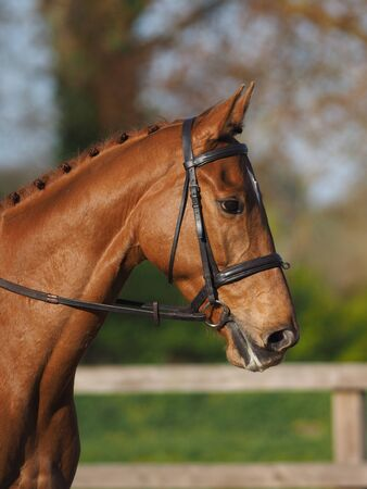 A headshot of a chestnut horse in a snaffle bridle