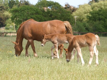 A rare breed Suffolk Punch mare and two foals. Stock fotó