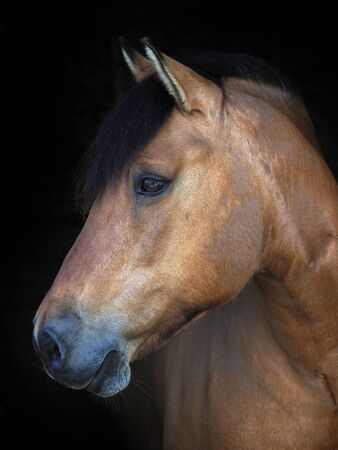 A headshot of a dun native pony isolated against a black background. Foto de archivo
