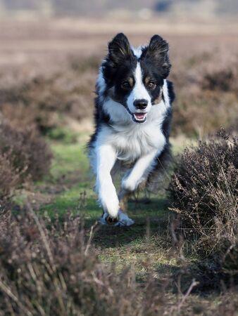 A border collie dog runs through the heather.