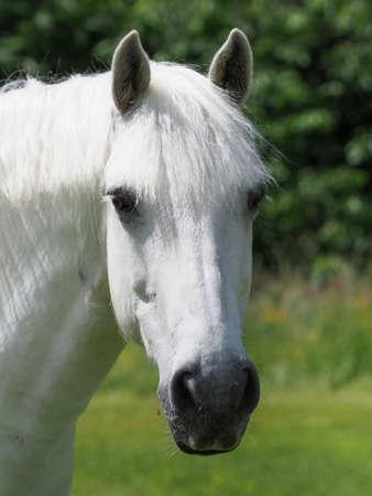 A headshot of a stunning grey horse. 스톡 콘텐츠