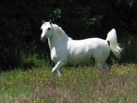 A beautiful grey stallion stands alert in a summer paddock.