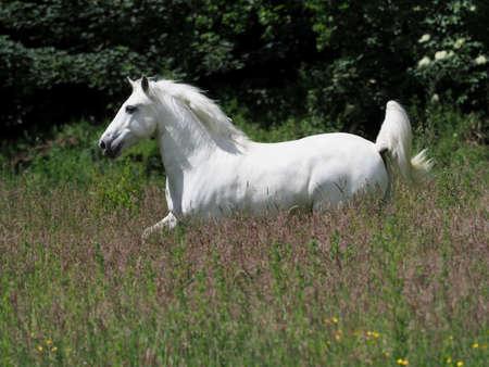 A beautiful grey stallion canters through a summer paddock.