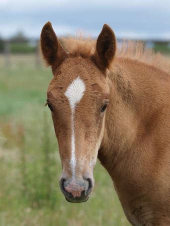 A headshot of a rare breed Suffolk Punch foal. 版權商用圖片