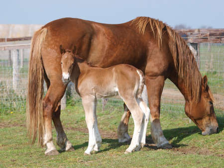 A rare breed Suffolk Punch mare and foal in a paddock. Imagens