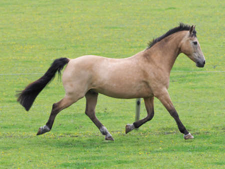 A pretty Dun horse plays at liberty in a paddock. Imagens