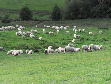 A large flock of sheep grazing in the Suffolk countryside. Stock Photo