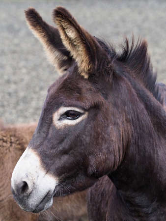A headshot of a pretty black donkey.