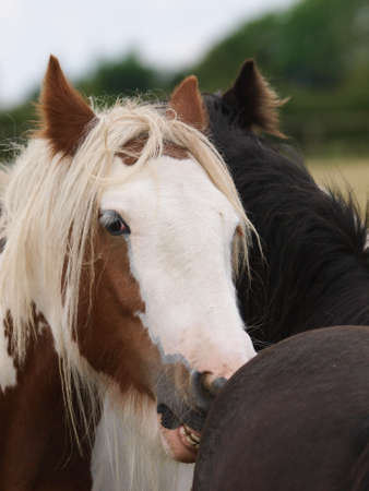 Two ponies mutual groom each other in a paddock.