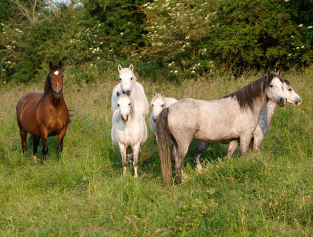 A mixed herd of native ponies grazing in summer grass.