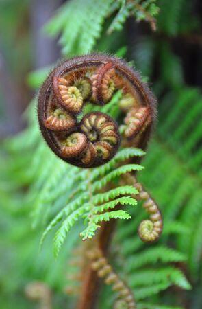Das Koru ist das Maori-Wort für die Spiralform eines neuen Riesen-Entfaltung Silber Farnwedel