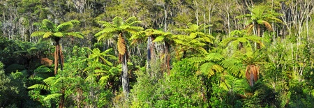 silver fern: Native bush background panorama featuring giant tree ferns  Abel Tasman National Park, New Zealand