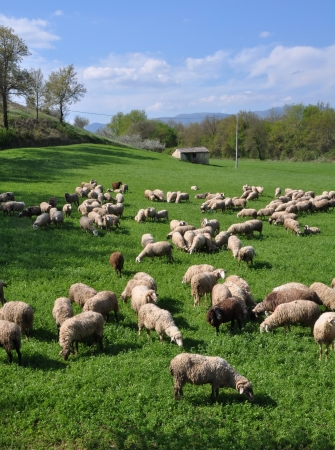 A flock of sheep grazing on a Lucerne crop in Spring sunshine, Montefalco, Umbria Italy. The sheep are milked daily to produce Pecorino cheese. photo