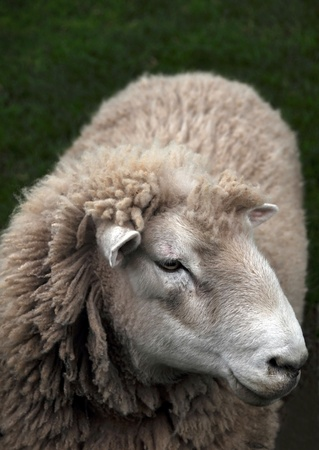 Closeup view of a mature New Zealand Corriedale Ewe sheep in spring still with its winter coat of thick wool. photo