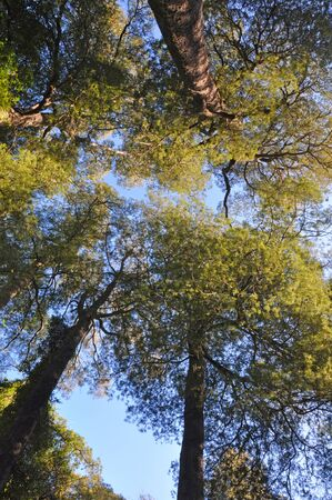 christchurch: Canopy of Kahikatea tree forest in Deans Bush, Christchurch, New Zealand. The Kahikatea is the tallest native tree in New Zealand. They can grow to 150 feet high and live for over 600 years.