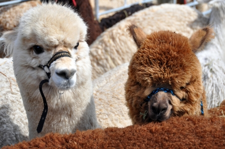 christchurch: Alpacas at the Canterbury A&P Show, Christchurch, New Zealand