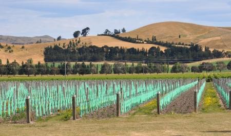 Young Vineyard in the burnt hills of Waipara, North Canterbury, New Zealand
