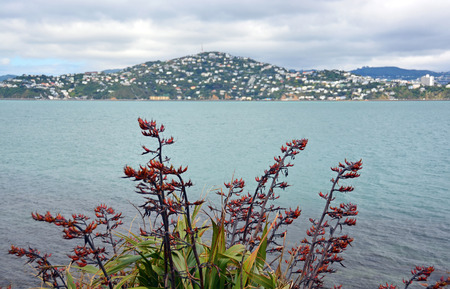 new zealand flax: Flax flowers in full bloom with Wellington Harbour   Mount Victoria in the background  Stock Photo