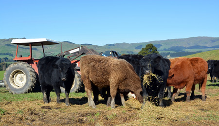Mixture of Friesian and Angus 10 month old calves eating Lucerne hay on a North Canterbury hill farm in the Scargill Valley, New Zealand  photo