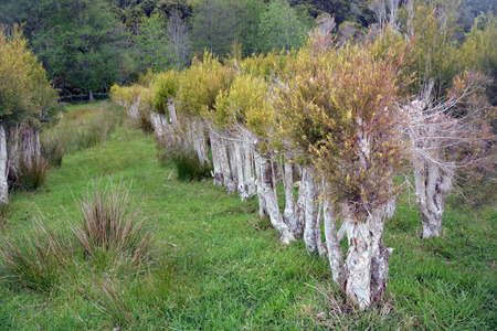 New growth on trees at a Tea Tree Plantation at Karamea, New Zealand. photo