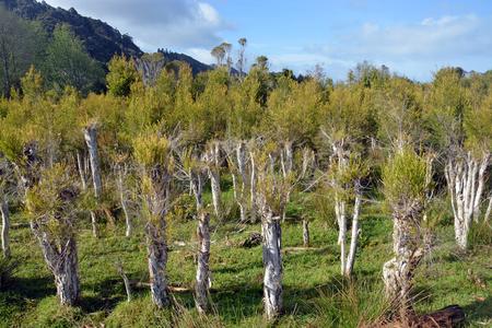 New growth on trees at a Tea Tree Plantation at Karamea, New Zealand. Stock Photo