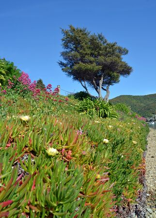 iceplant: A bank of Iceplant in Spring flower at Waikawa Bay, Picton New Zealand. Stock Photo