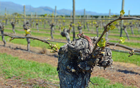 spring bud: Spring Growth on mature Sauvignon Blanc Grape Vines in Marlborough, New Zealand