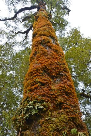 Muschi che crescono su un antico albero di faggio nel Oparara bacino Forect, Karamea, West Coast, South Island, Nuova Zelanda.