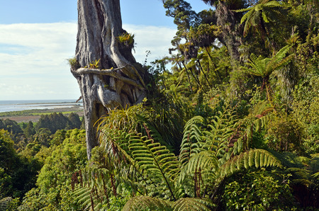 west  coast: Giant Rata tree, over 300 years old, rising from the forest ferns on the hill sides overlooking the town of Karamea, West Coast, New Zealand.
