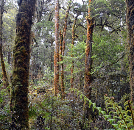 west coast: Beech trees and ferns in the Oparara Basin Forest, West Coast, New Zealand
